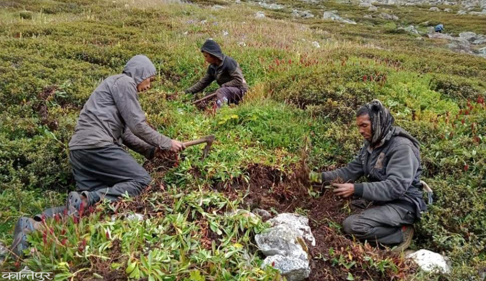 जडिबुटी खोज्न वनमै बास